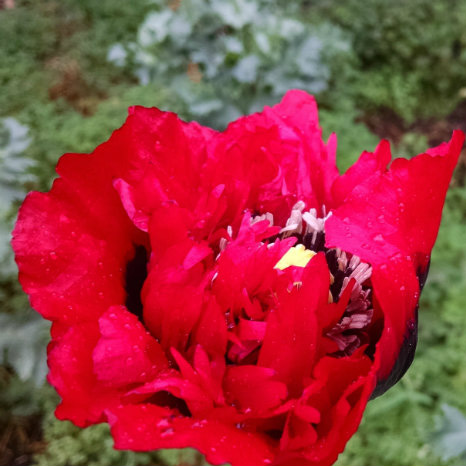 Beautiful red poppy